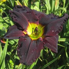 Hemerocallis Jungle Beauty