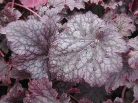 Heuchera x Plum Pudding
