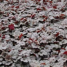 Heuchera x Rave On