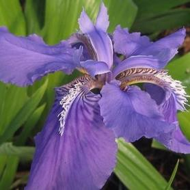 Iris tectorum 'Wolong'