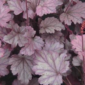 Heuchera x 'Stainless Steel'