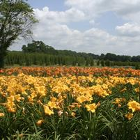 Hemerocallis Field