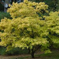 Cornus florida Autumn Gold (Mt. Cuba)