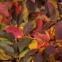 Parrotia subaequalis (Fall color)