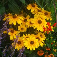 Rudbeckia hirta Indian Summer & Crocosmia Lucifer