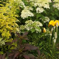Jasminum officinale Fiona Sunrise, Hemerocallis Buttered Popcorn & Hibiscus x Midnight Marvel