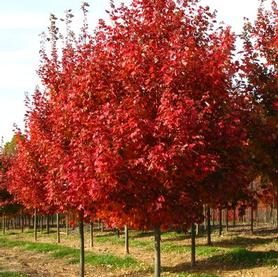 Acer rubrum October Glory®