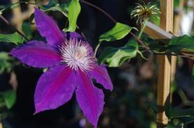 Clematis Anna-Louise™