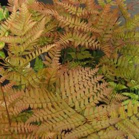 Dryopteris erythrosora Brilliance™