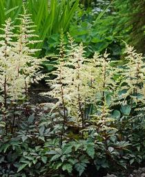 Astilbe x arendsii Cappuccino
