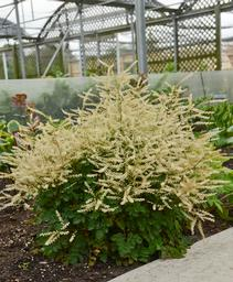Aruncus x Chantilly Lace