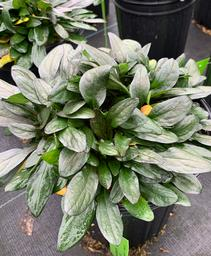 Ajuga reptans Blueberry Muffin