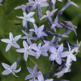Amsonia x Blue Ice