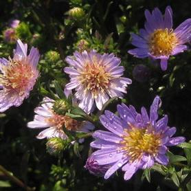 Aster Wood's Light Blue