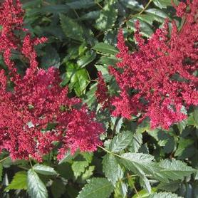Astilbe x arendsii August Light