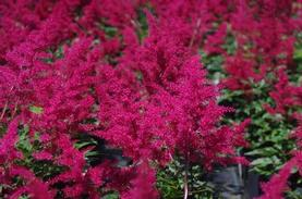 Astilbe x arendsii Red Sentinel