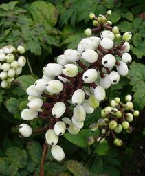 White Baneberry - Doll's Eyes