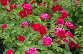 Groundcover Meidiland Rose