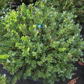 Little Leaf Boxwood