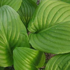 Fragrant Plantain Lily