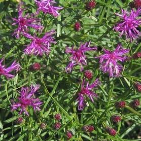 Narrowleaf Ironweed