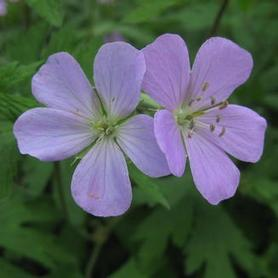 Spotted Cranesbill