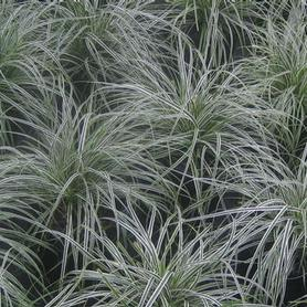 Weeping Sedge