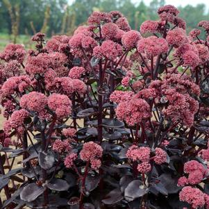 Autumn Stonecrop