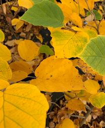 Common Witchhazel