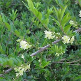 Privet Honeysuckle