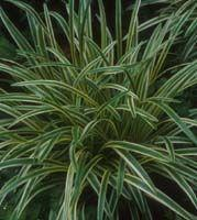 Variegated Lily-turf