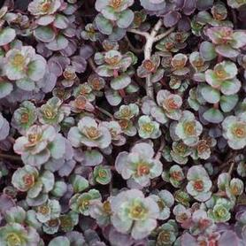 Two Row Stonecrop