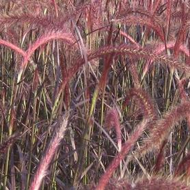 Red Tender Fountain Grass