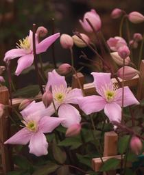 Pink Anemone Clematis