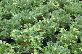 Prostrate Plum Yew