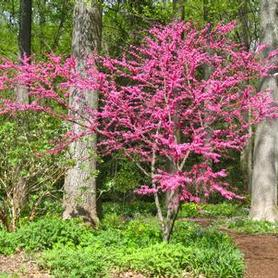 Red Eastern Redbud