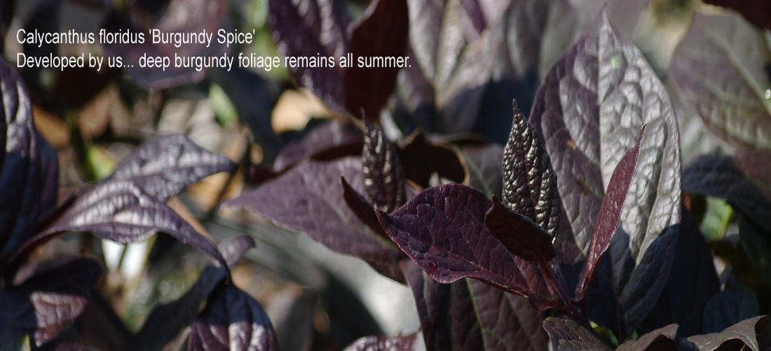 Calycanthus Burgundy Spice