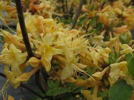Rhododendron aus. x (atlan. x pericly.) 'My Mary'