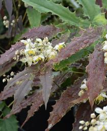 Epimedium wushanense 'Sandy Claws'