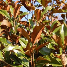 Magnolia grandiflora 'Bracken's Brown Beauty'
